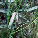 Image of Manatee Grass