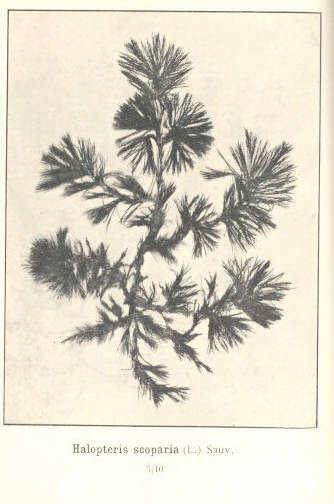 Image of Sphacelariales