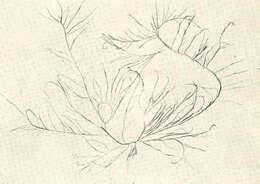 Image of <i>Hypnea musciformis</i> (Wulfen) Lamouroux