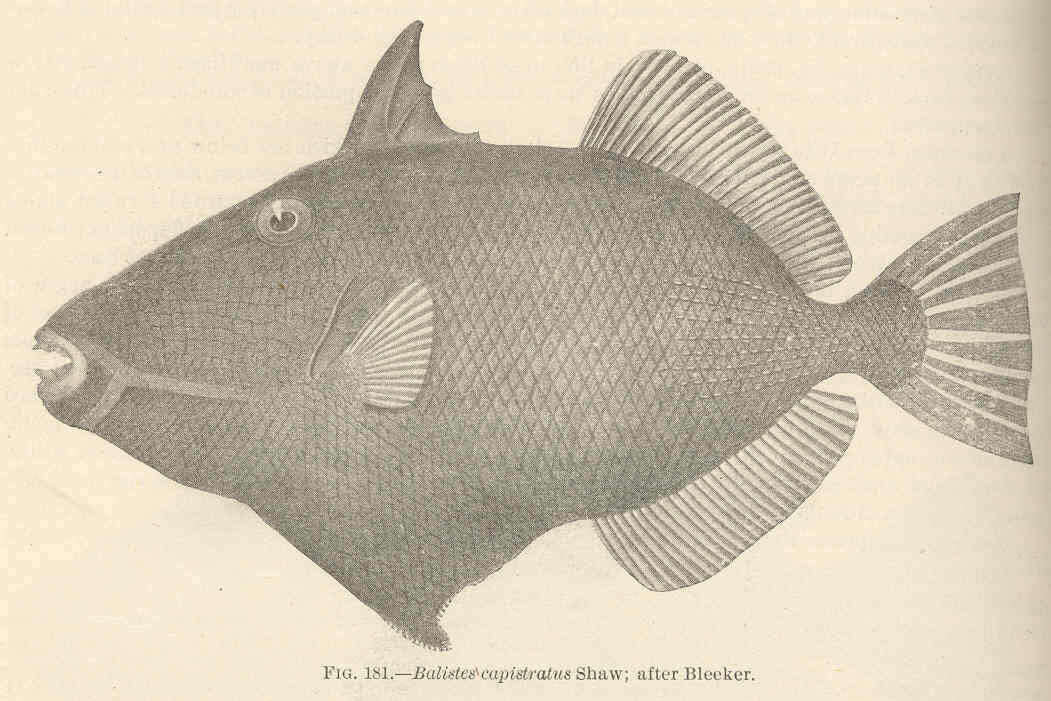 Image of triggerfishes