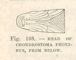 Image of Chondrostoma