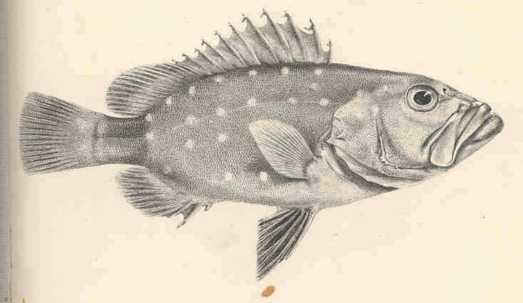 Image of Hyporthodus