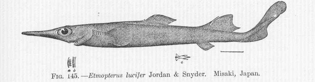 Image of squaliform sharks