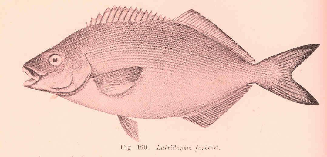 Image of Cirrhitioidei