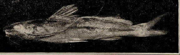 Image of seven-finned catfishes
