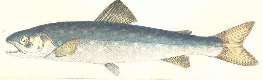 Image of Salmoniformes