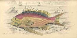 Image of Anthias