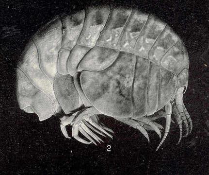 Image of Stegocephalus