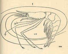 Image of Eucarida