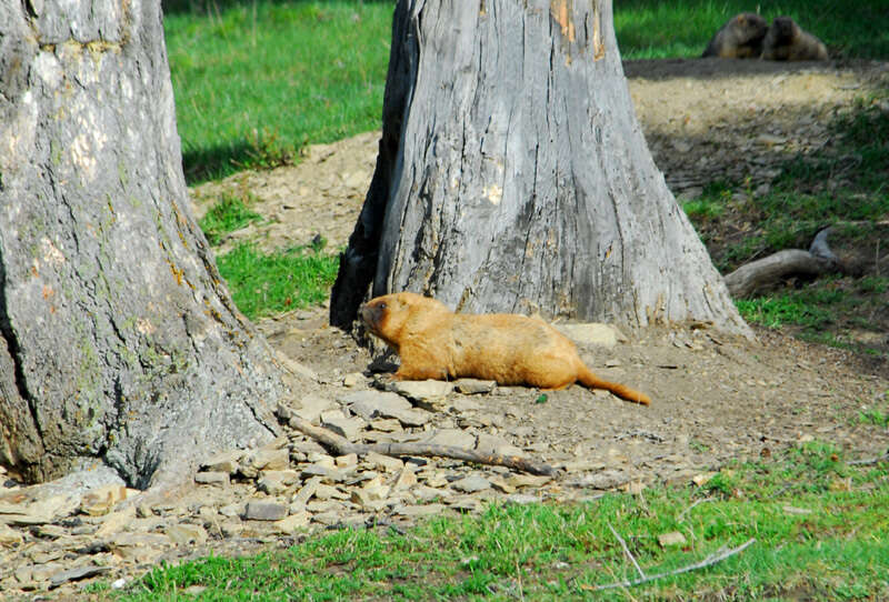 Image of Marmota