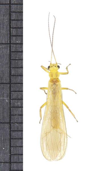 Image of stoneflies