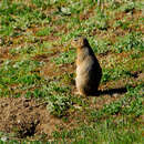 Image of Long-tailed Ground Squirrel