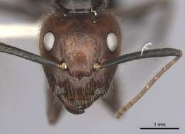 Image of <i>Camponotus bugnioni</i> Forel 1899