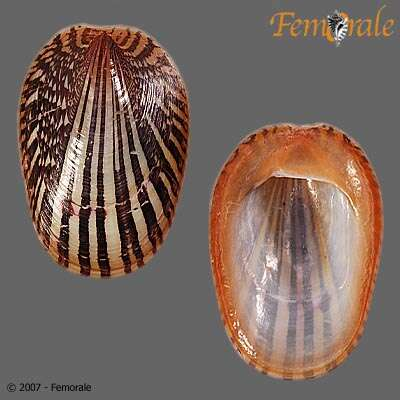 Image of Cycloneritida