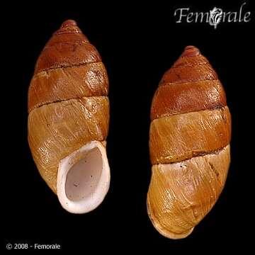 Image of Pupilloidea