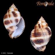 Image of Cancellariidae