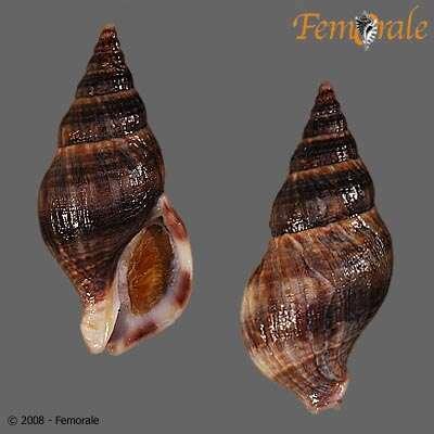 Image of Buccinulum