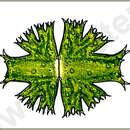Image of <i>Micrasterias brachyptera</i>