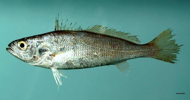 Image of Sea trouts