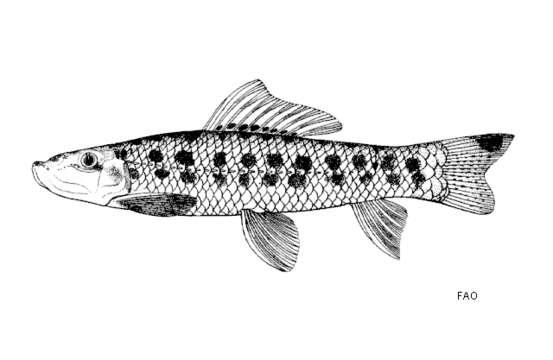 Image of Gyrinocheilus