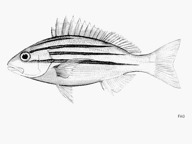 Image of Bengal snapper