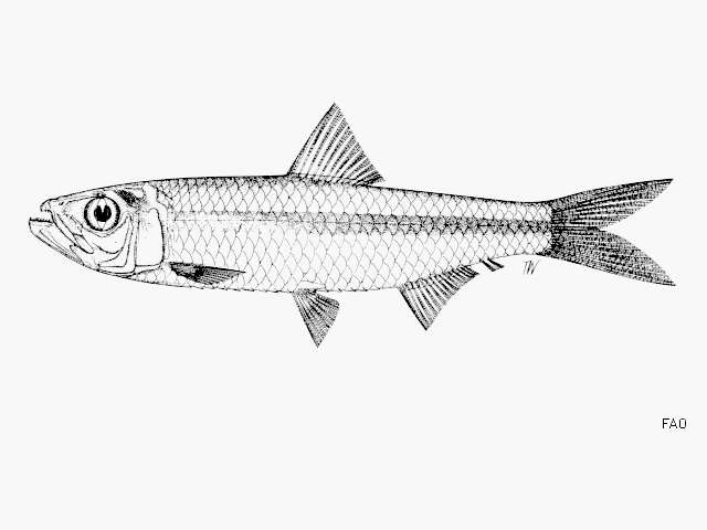 Image of Clupeichthys