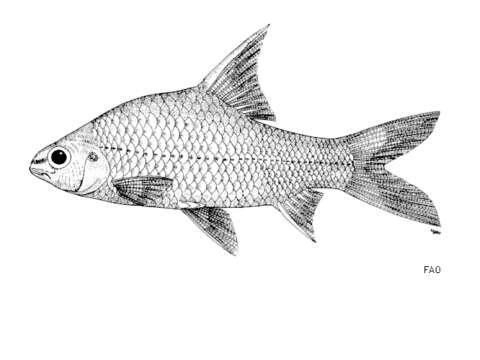 Image of Anematichthys