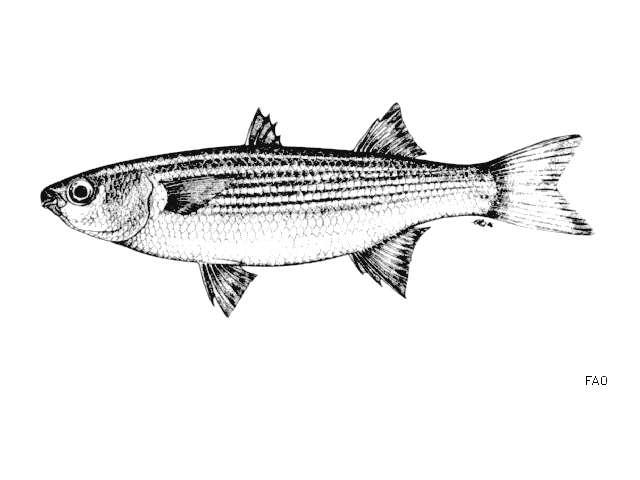 Image of Oedalechilus