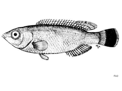 Image of Centrolabrus