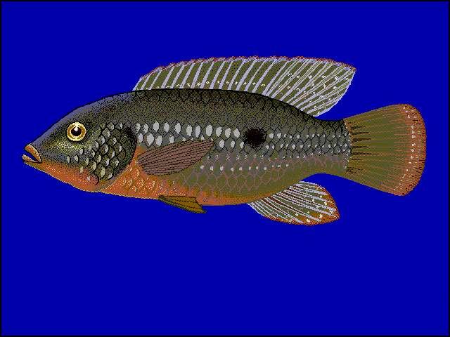 Image of Jewel cichlid