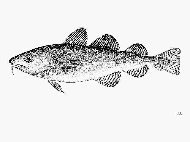 Image of cods