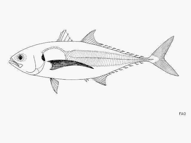 Image of Megalaspis