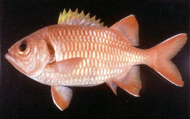 Image of Myripristis