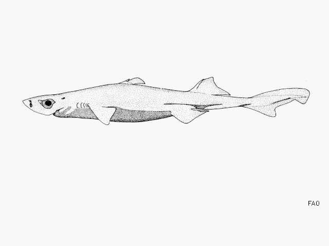 Image of Etmopterus