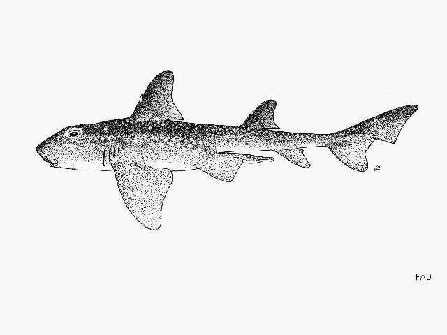 Image of Heterodontus