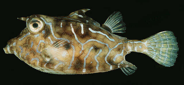 Image of Ostracioidei