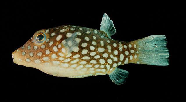 Image of Tetraodontoidei