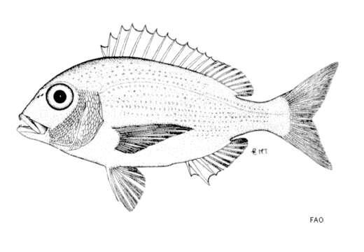 Image of Polysteganus