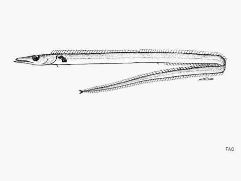 Image of Benthodesmus