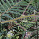 صورة <i>Acaciella angustissima</i> (Mill.) Britton & Rose