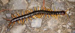 Image of Centipede