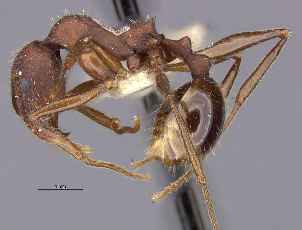 Image of <i>Aphaenogaster geei</i> Wheeler 1921