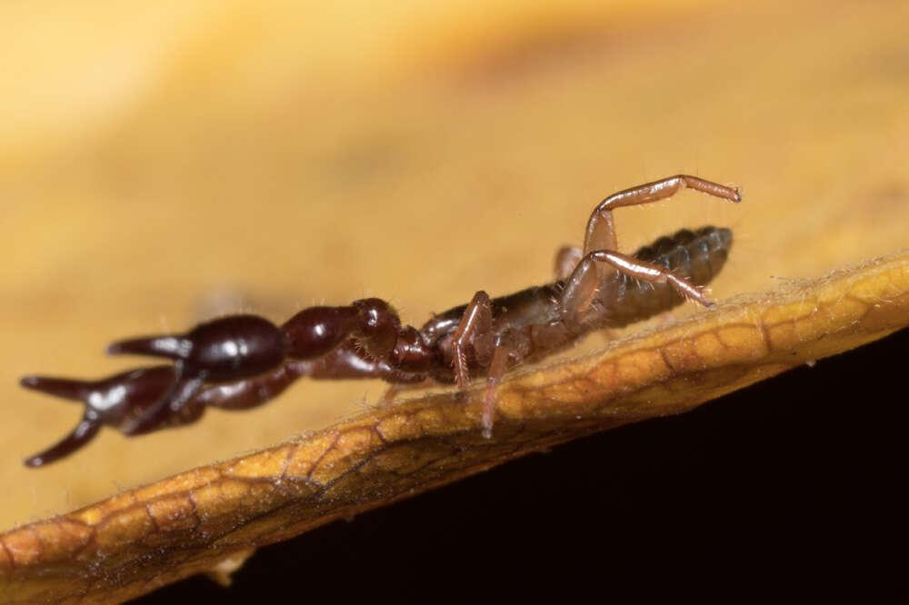 Image of Cheliferoidea