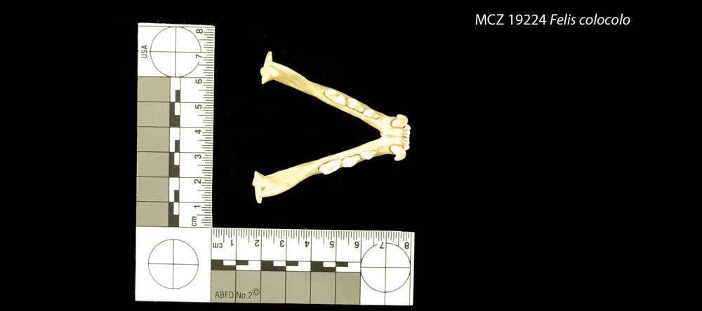 Image of Reptiliomorpha