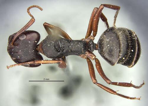 Image of <i>Camponotus planus</i> Smith 1877