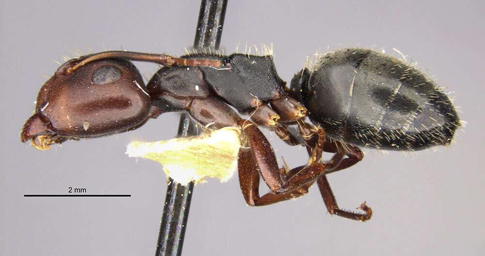 Image of <i>Camponotus planus hephaestus</i> Wheeler 1933