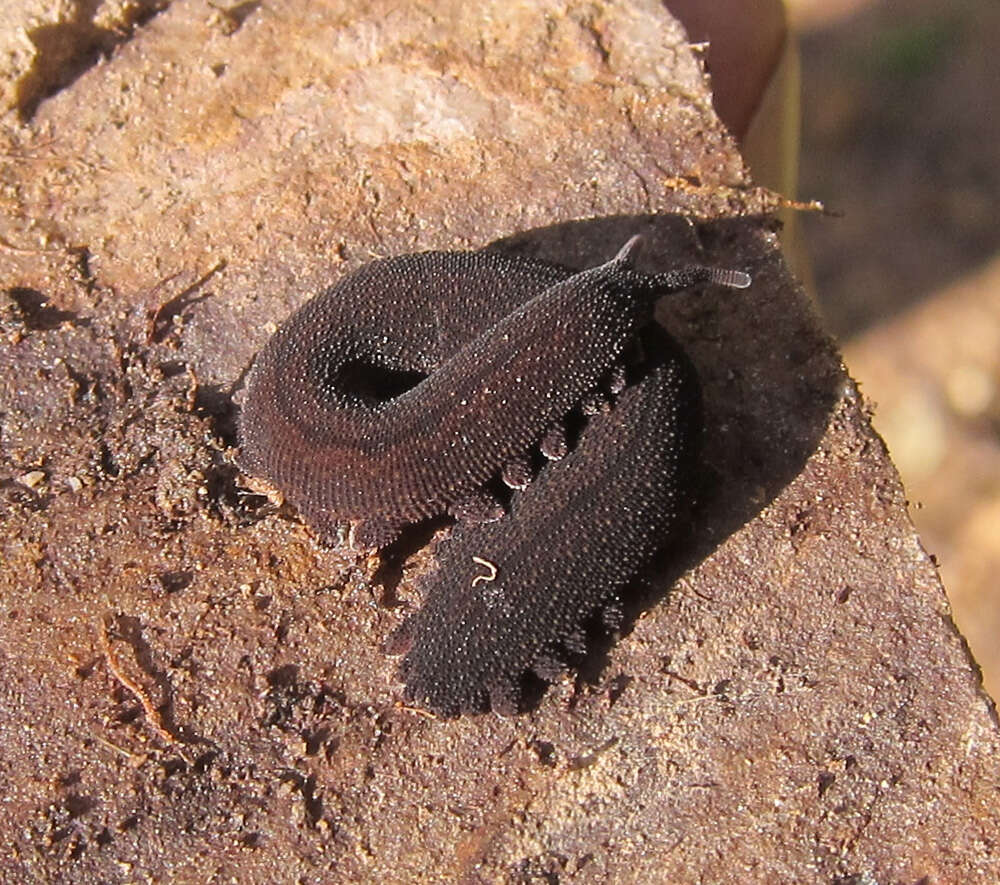 Image of velvet worms