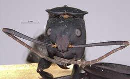 Image of <i>Camponotus sericeiventris</i> rex var. zacapensis