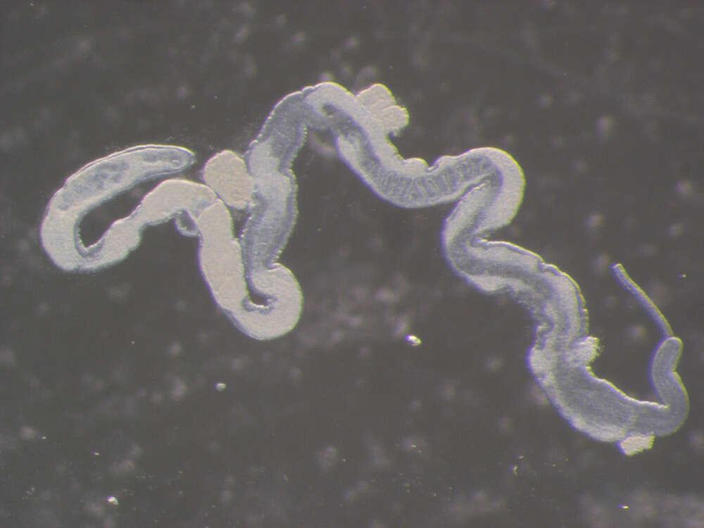 Image of Palaeonemertea