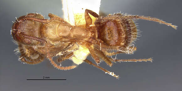 Image of <i>Camponotus sexguttatus montserratensis</i> Wheeler 1923